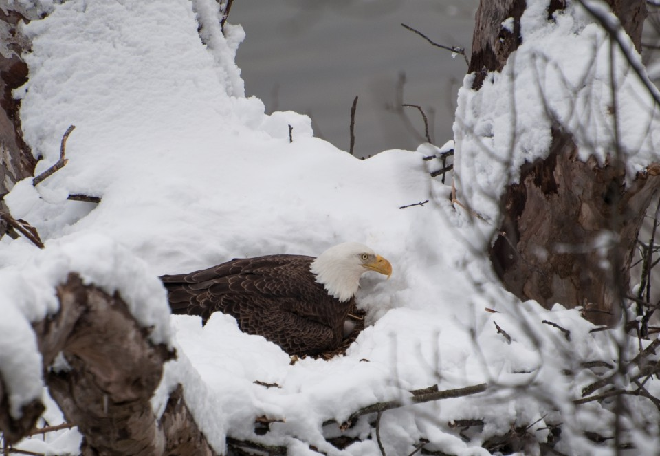 Bald Eagle nest - Tellico Village realty - Lakeside Real Estate Group